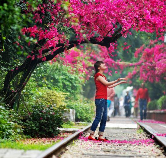 市花-三角梅
