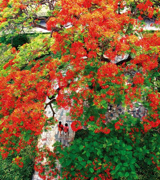 市树-凤凰木