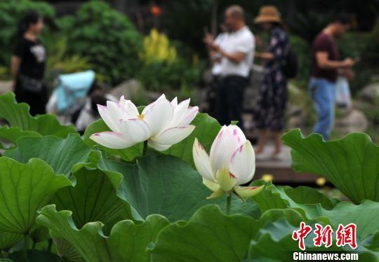 图为6月1日,福州茶亭公园水池里的荷花吸引了许多游客和市民前来观赏。 张斌 摄