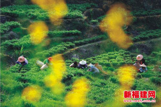 中国十大茶叶品牌 安溪铁观音