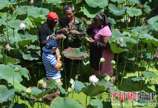 外国游客正在莲田里采摘莲蓬。张斌 摄