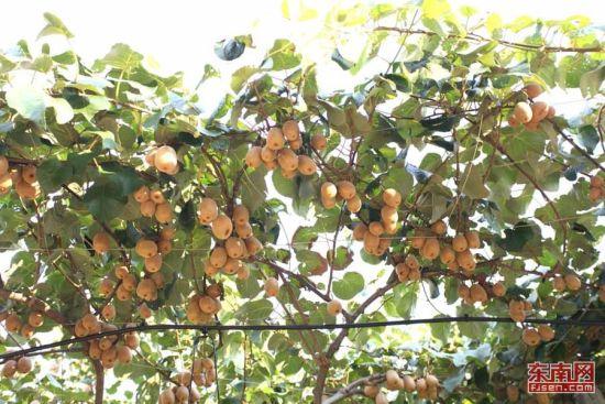 安发集团选育出来的猕猴桃。