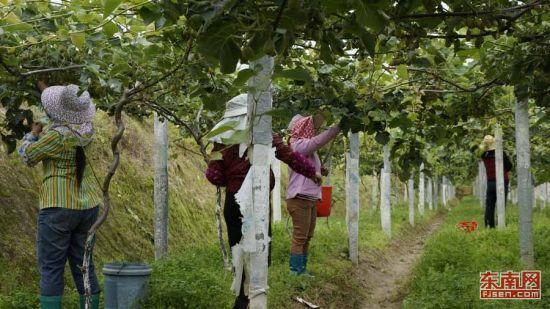 农户正在猕猴桃基地劳作。