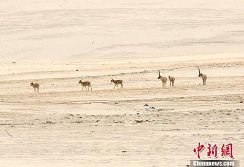 资料图:藏羚羊在可可西里无人区内觅食。 中新社记者 武仲林 摄