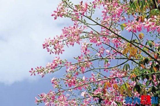 仙岳路的美人树。