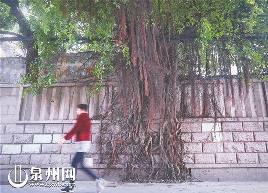 市区许厝埕的大榕树墙上挂绿