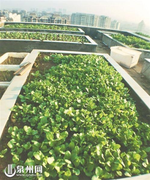 晋江青阳一楼顶上的空中菜园