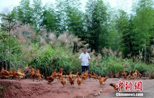 武平县万安镇捷文村林农李桂林在喂养林下养殖的本地土鸡。王发祥 摄