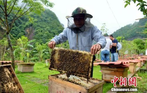武平县林下经济脱贫示范户王瑞保在管理林下经济中花蜜蜂。王发祥 摄