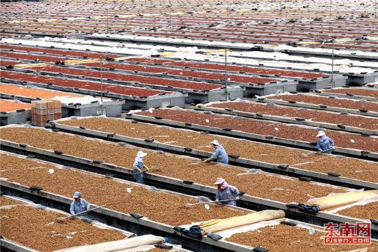 """天喔(福建)食品有限公司迎来晒果季,工人们在天然晾晒场里晾晒桃子、李子、青梅等果实,为生产出优质果脯做准备。 该公司是""""省级重点龙头企业"""",加工带动能力强,每年仅从全省各地收购的鲜果就达1.5万吨左右,带动大量果农增收致富。 福建日报 周明太 林剑冰 陈峰 摄"""