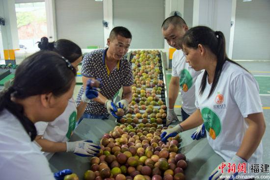 武平全力打造以百香果为代表的特色农产品品牌。推《武平百香果冷链分拣中心 》。王发祥 摄