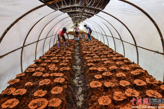 依靠群众,推动林改持续深入。图为武平乡村的灵芝采摘。何东平摄.jpg