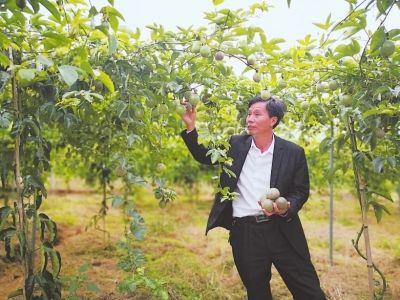 上蕉村标准化种植315亩百香果。