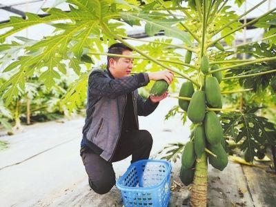 谢屋村汇康果蔬农业合作社,红妃木瓜下月便可采摘。