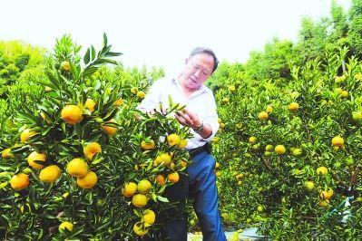 张生才在观察即将成熟的永春芦柑。