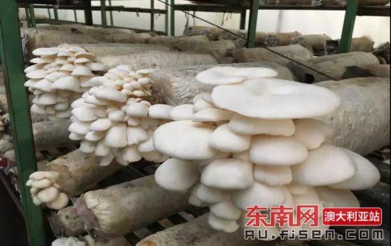 来自吴鹏辉创办的Gooda Creek农场培育的平菇(白)。