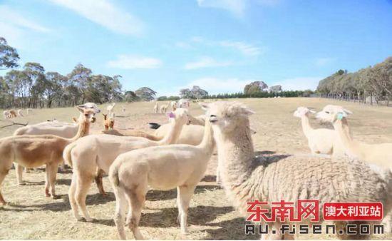 农场里的羊驼群。