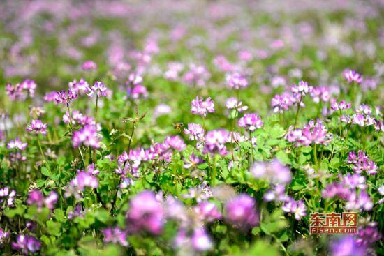蜜蜂在花丛中飞舞 吴有森 摄