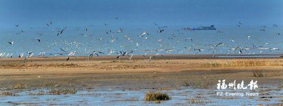 闽江河口湿地核心保护区浅滩上有大量的鸟类。