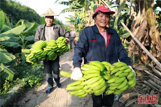 天宝蕉农享受丰收喜悦。 福建日报通讯员 郑文典 摄