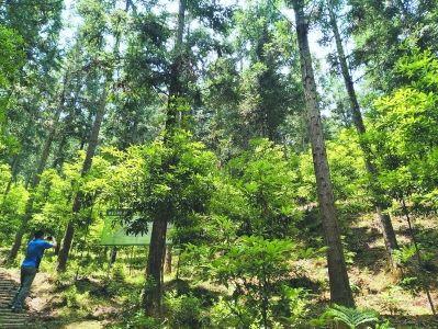 顺昌岚下国有林场在林下培育的闽楠等名贵苗木。 钟兆全摄