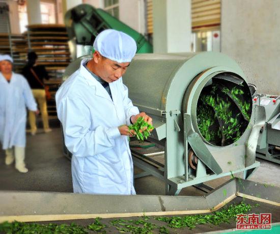 生产人员正检查绿茶加工情况。福建日报通讯员 王发祥摄