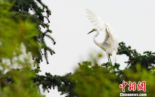 江西仙女湖区初夏生态画卷:乡村鹭鸟栖