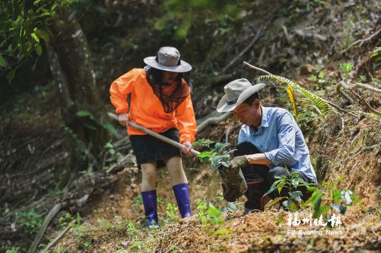刘运平在旗山不同海拔位置试种咖啡树苗。