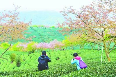 花开时节,樱花茶园成为拍摄胜地。