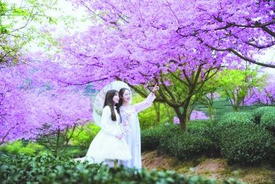 樱花茶园美得像一幅画。陈希健 摄