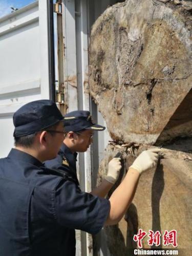 榕城海关驻福清办事处现场关员在对该2批次黑胡桃木进行查验时,发现黑胡桃木表层爬有大量虫子。福州海关供图