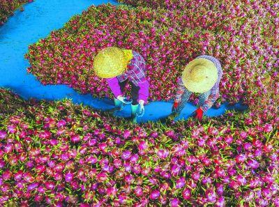 今年,大宅社区又迎来火龙果大丰收。图为基地工作人员在采收火龙果。