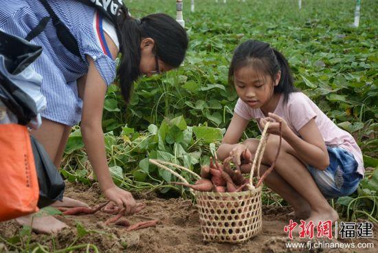开心地瓜农场采摘体验其乐融融。