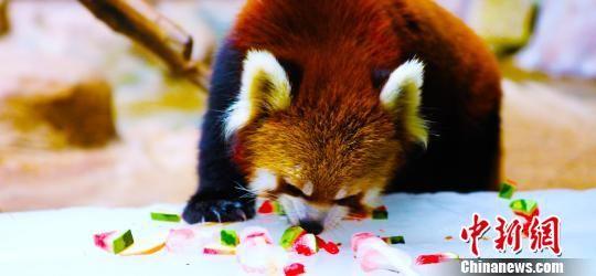 小熊猫 供图