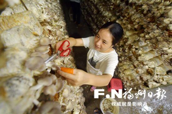 罗源起步镇袖珍菇产业经历了瓶颈之后,焕发新生。刘其燚 摄