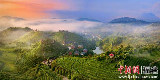 屏山乡内洋村茶美人景这时候地上区。林跃 摄