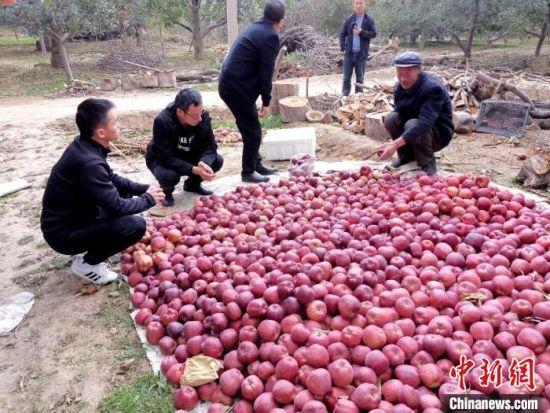 甘肃省临夏州永靖县是有名的瓜果之乡,有30多年的苹果种植历史,其红富士、乔纳金等苹果深受消费者青睐。供图
