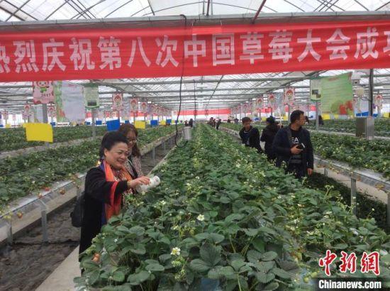 张艳璇博士(左一)在安徽长丰草莓园播撒天敌捕食螨。(陈国明 摄)