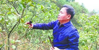 福建仙游:专家进瑞沟 柚农展愁眉