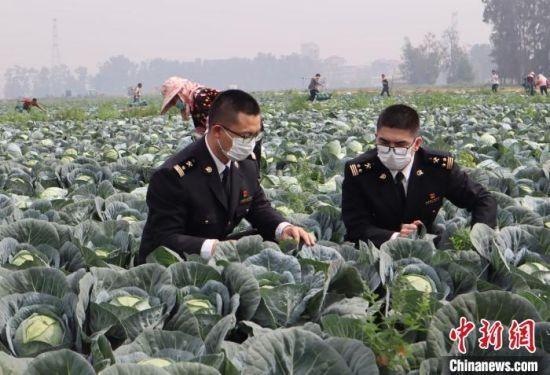 莆田海关关员对出口保鲜蔬菜进行检疫。 福州海关供图 摄