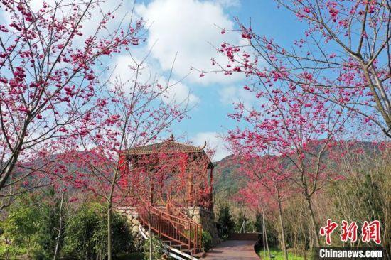 图为霞浦樱花谷内,重重叠叠的花朵挂满枝头。 郑培銮 摄