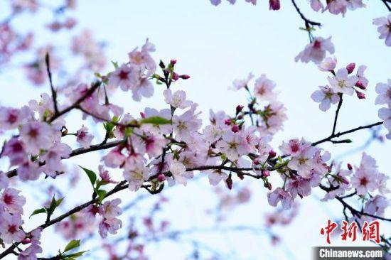 图为霞浦樱花谷内,樱花绽放。 郑培銮 摄