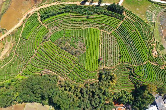 周宁县玛坑乡万亩生态茶园全貌。黄起青 摄