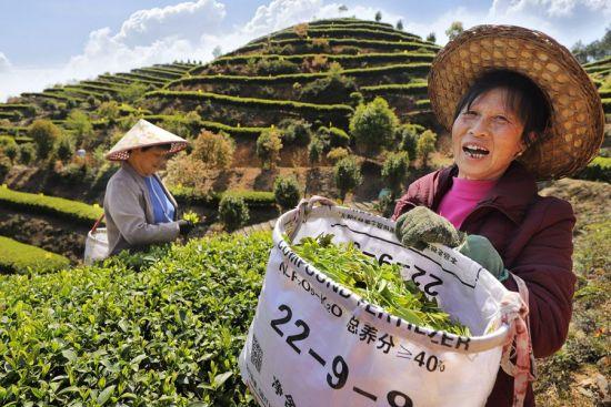 周宁县玛坑乡首章村智慧有机茶园,茶农在采摘春茶。黄起青 摄