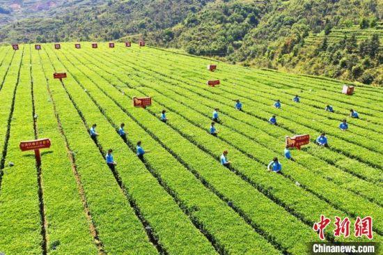 安溪铁观音迎来春茶采摘、生产的黄金时节。 林楷煜 摄