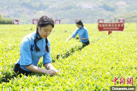 近期安溪天气晴好,有利于春茶采摘。 林楷煜 摄