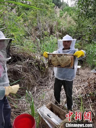 黄金富正在苎畲村林下养蜂场协助村民采蜜。 张德先 摄