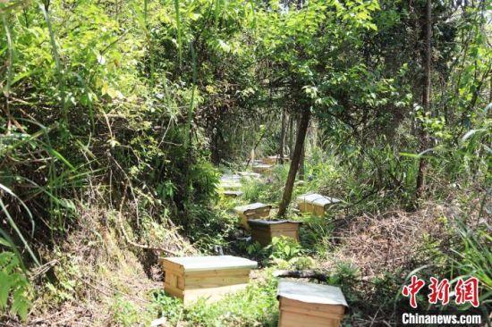 苎畲村林下养蜂场一景。 张德先 摄