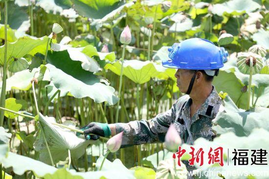 建莲正值采摘、烘烤季节,莲农正在采摘。唐伟 摄