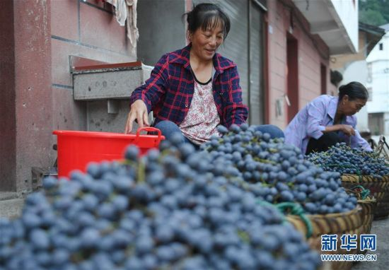 9月15日,在福建省宁德福安市穆云畲族乡溪塔村,村民分拣刺葡萄。新华社记者 宋为伟 摄